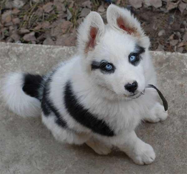 Gorgeous Little Husky